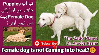 #dogheat #dogmating #dogcare How to bring female dog into heat l Heat problem in dog l Cado Planet
