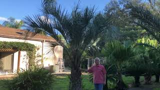 The Tree Planters Present Our Pindo Palm