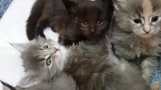 Купава (28 дней) Злой котёнок мейн-кун:)
