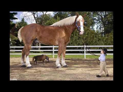Big Jake World's Tallest Horse - Guinness World Record Holder