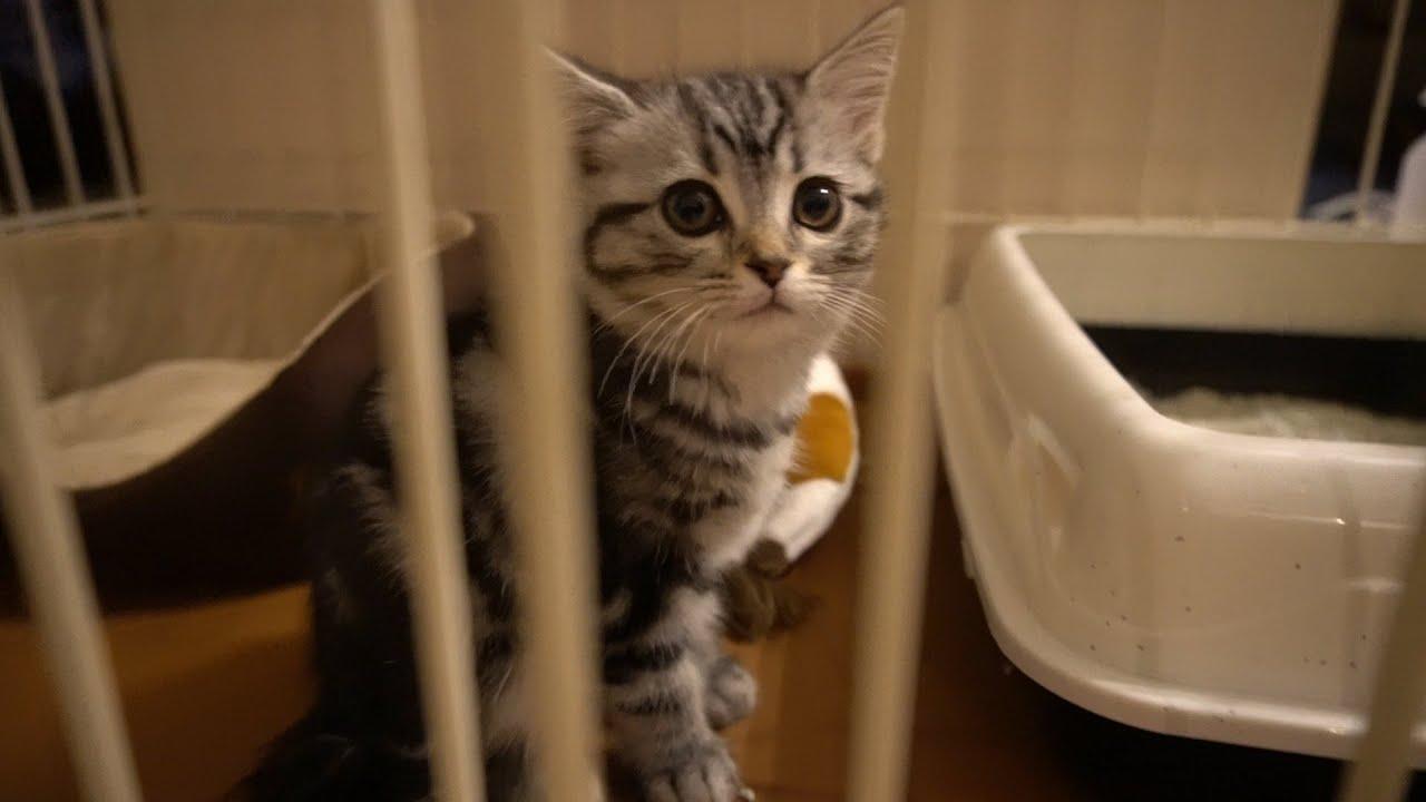 子猫が初めて、ケージで過ごす様子です。【アメリカンショートヘア】