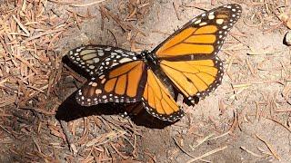 Raj motyli Monarca, Morelia (Michoacan). Podróże Pawła Krzyka, film UHD