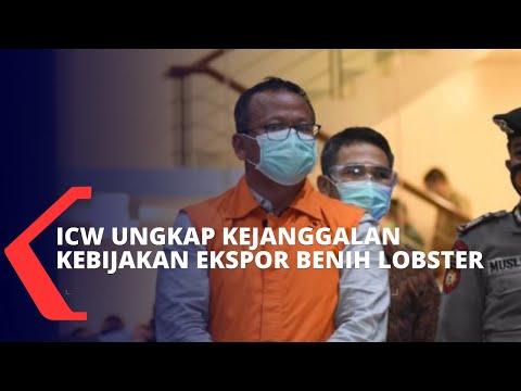 ini penjelasan icw terkait kejanggalan dalam kebijakan edhy prabowo soal ekspor benih lobster