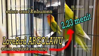 Love Bird Argolawu Asal Kebumen . Ngekek Panjang 2.23 Menit Nonstop Tanpa Edit | Part 1
