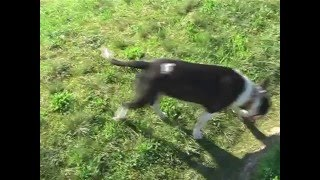 preview picture of video 'Bull terrier - DONKA pri Váhu'