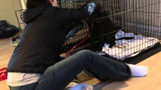 Chocolate Labrador Puppy Learns To Calmly Exit A Dog Crate