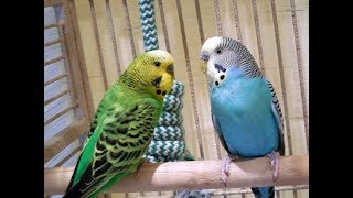 Budgies Love Each Other, Parakeets Chirping Reduce stress blood pressure heart disorder hypertension