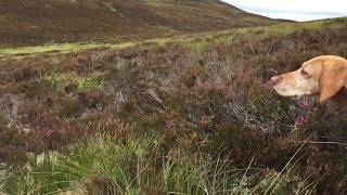 Close up of a point and flush on grouse