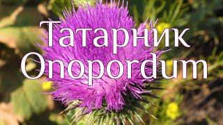 Татарник Onopordum