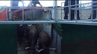 preview picture of video 'Ganaderia Hnos. Miro del camion a los corrales Fiestas Taurinas Cabanes 070513 bous al carrer'