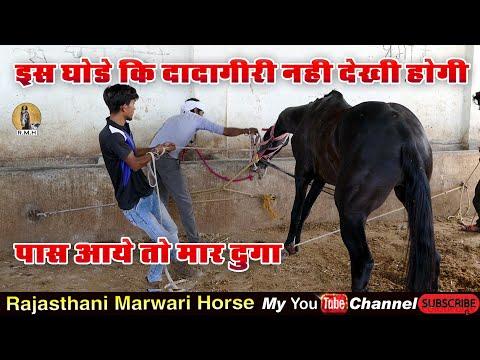 Horse Marwari ll तूफानी घोड़े की दादागिरी l इस घोड़े काबू करना मुश्किल ही नहीं नामुमकिन है