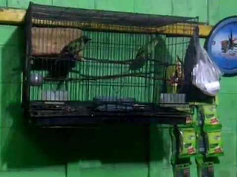 Video Cara ternak burung cucak hijau
