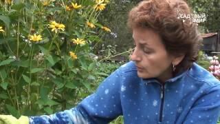 Как выкапывать и хранить гладиолусы видео