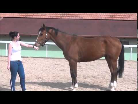 FOR SALE - New de Revel - *2011, New Quidam x Barnaul xx, www.salesporthorses.com