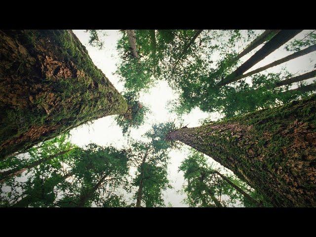 Революционные исследования в докладе Сюзан Симард, ученая, которая более 30 лет изучает коммуникации между деревьями