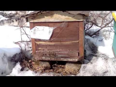 Первый облет пчел в Свердловской области 24 марта 2016 года.