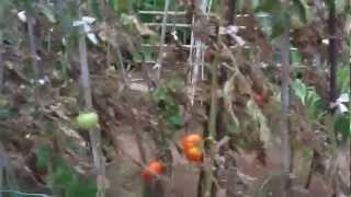 preview picture of video 'Como plantar hortalizas en un huerto'