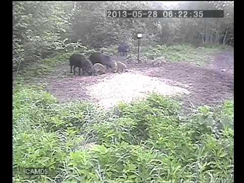 videonovērošanas kamera mežā pie mežacūkām