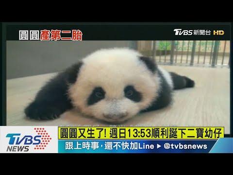 熊貓圓圓生第二胎了