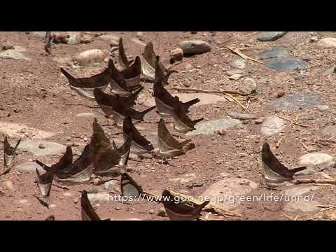 群れ飛ぶツルギタテハ Marpesia spp(ペルー)