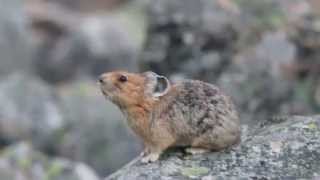 The American Pika calling out! :)