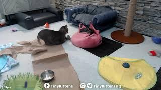 Lulu v. the Tail - TinyKittens.com
