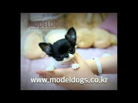 Miniature Chihuahua Videos Watch Funny Chihuahua Videos - Part 6