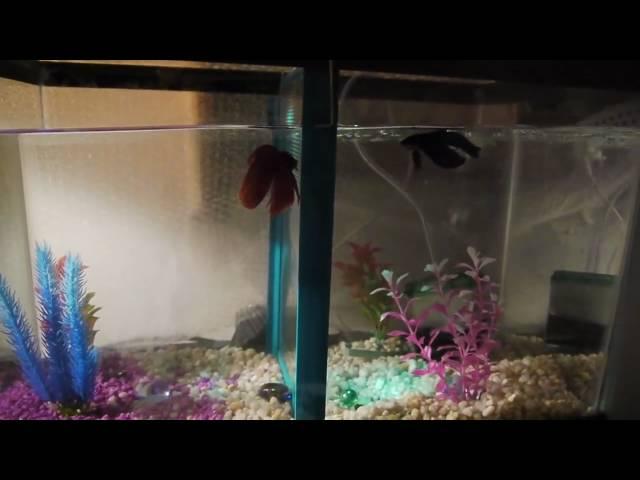 10 gallon multiple community Betta Aquarium tank with two males same tank!
