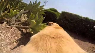 Смотреть онлайн Съемка камеры на спине лабрадора