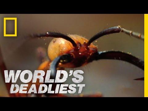 Armáda mravenců sežere všechno