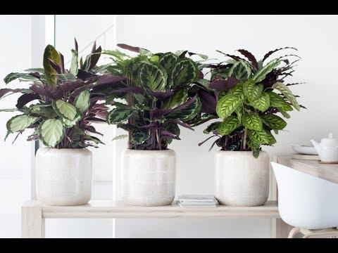 Что такое ДЕКОРАТИВНО-ЛИСТВЕННЫЕ растения и за что они ценятся в комнатном цветоводстве