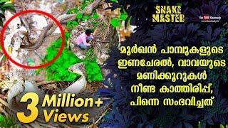 മൂർഖൻ പാമ്പുകളുടെ ഇണചേരൽ,വാവയുടെ മണിക്കൂറുകൾ നീണ്ട കാത്തിരിപ്പ്,പിന്നെ നടന്നത് | Snakemaster EP 533