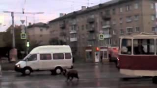 Смотреть онлайн Огромный пес не дает проехать трамваю