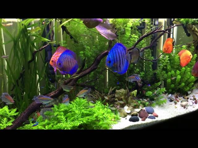 135 gallon discus and planted fish aquarium