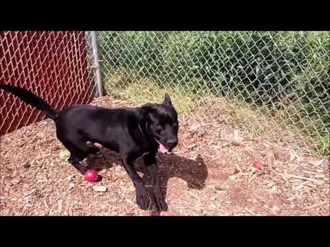 DIEGO (R), an adopted Labrador Retriever in Marietta, GA