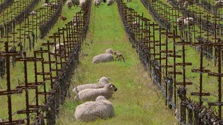 Relax with Sheep at Shafer Vineyards in Napa Valley - 6 hours 4K