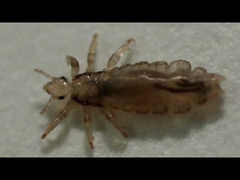 Selisilik pamahid mula sa mga worm