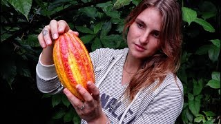 Making Chocolate - TREE TO BAR   Cacao Garden Tour