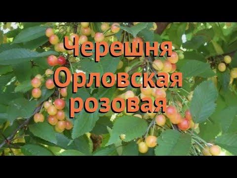 Черешня обыкновенная Орловская розовая 🌿 обзор: как сажать, саженцы черешни Орловская розовая