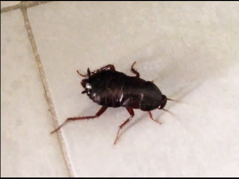 черный таракан дома на прогулке