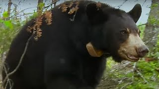 Small bear cub lost in storm | BBC Earth