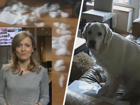 Alles in Fetzen: Als Frauchen außer Haus ist, dekoriert der Hund um