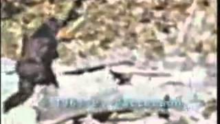 Gambar cover Bigfoot caught on tape (Patterson footage stabilized)
