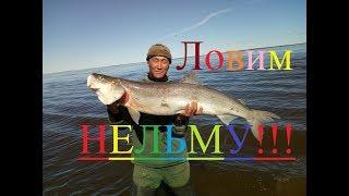 Нельма рыба когда и где ловить