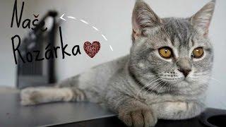 POKEC | Naše Rozárka | Krátkosrstá britská kočka