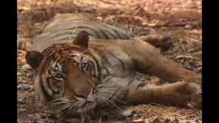 Tiger Temple tigers: RIP Mek Nua