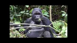 preview picture of video 'Gorilla tracking in Rwanda Volcanoes National Park'