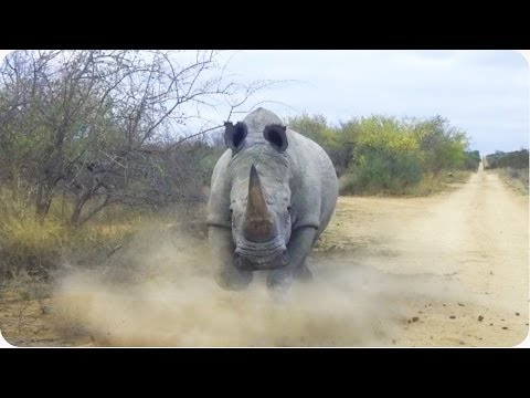While driving through Kruger National Park in South Africa, one cantankerous rhinoceros didn't appreciate this unwanted visitor.