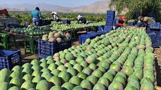 How To Harvest Mango Fruit And Processing - Awesome Mango Juice Processing - Mango Farm