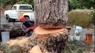 Young tree man falls his biggest dead tree 🌲